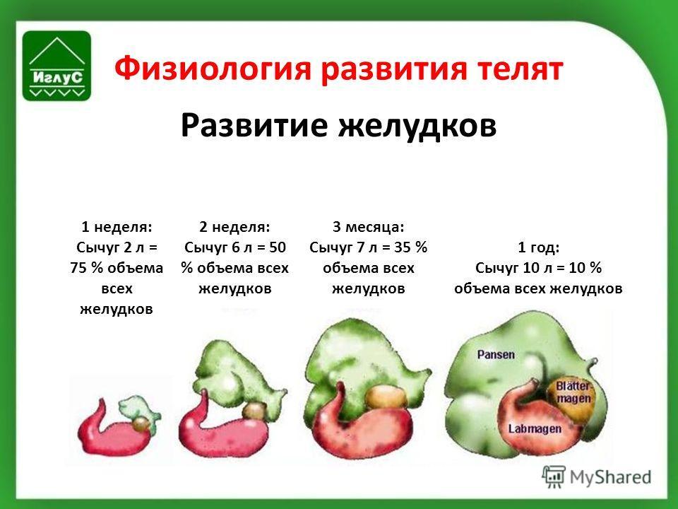 Физиология развития телят Развитие желудков 1 неделя: Сычуг 2 л = 75 % объема всех желудков 2 неделя: Сычуг 6 л = 50 % объема всех желудков 3 месяца: Сычуг 7 л = 35 % объема всех желудков 1 год: Сычуг 10 л = 10 % объема всех желудков