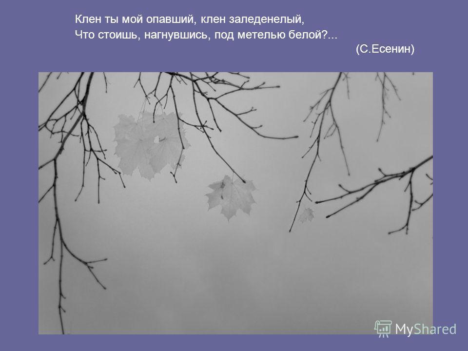 Клен ты мой опавший, клен заледенелый, Что стоишь, нагнувшись, под метелью белой?... (С.Есенин)