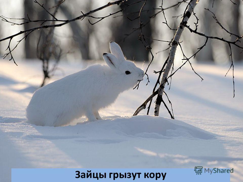 Зайцы грызут кору