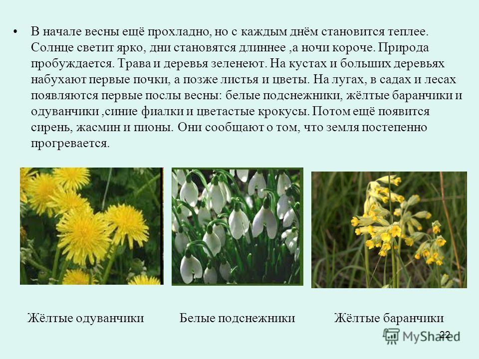 22 Жёлтые одуванчики Белые подснежники Жёлтые баранчики В начале весны ещё прохладно, но с каждым днём становится теплее. Солнце светит ярко, дни становятся длиннее,а ночи короче. Природа пробуждается. Трава и деревья зеленеют. На кустах и больших де