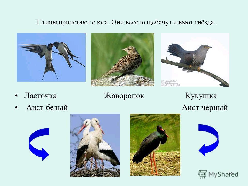 24 Птицы прилетают с юга. Они весело щебечут и вьют гнёзда. Ласточка Жаворонок Кукушка Аист белый Аист чёрный