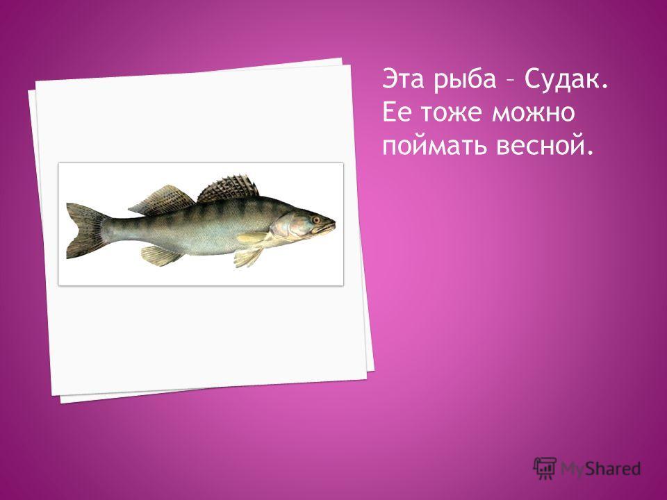 Эта рыба – Судак. Ее тоже можно поймать весной.