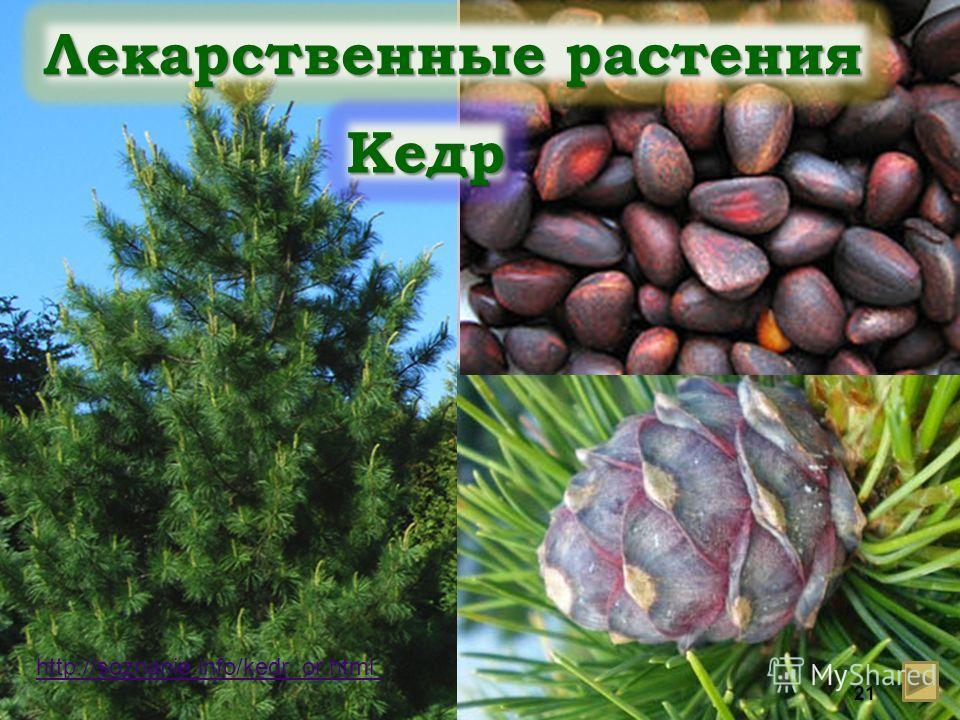 http://soznanie.info/kedr_or.html Лекарственные растения Кедр 21