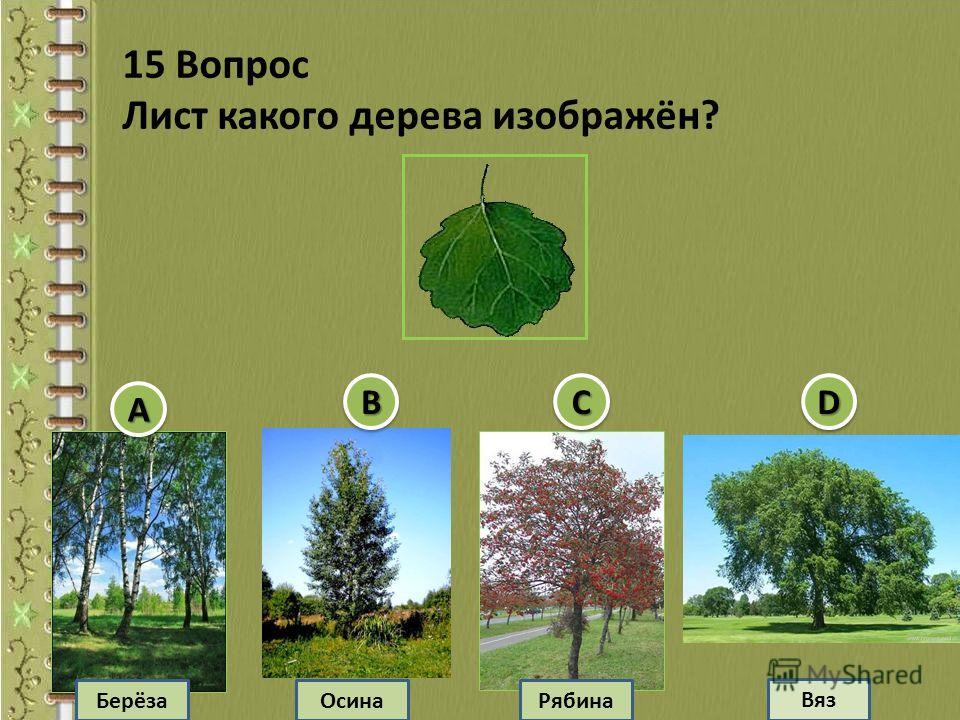 Берёза Осина Вяз Рябина 15 Вопрос Лист какого дерева изображён? АА ВВССDD