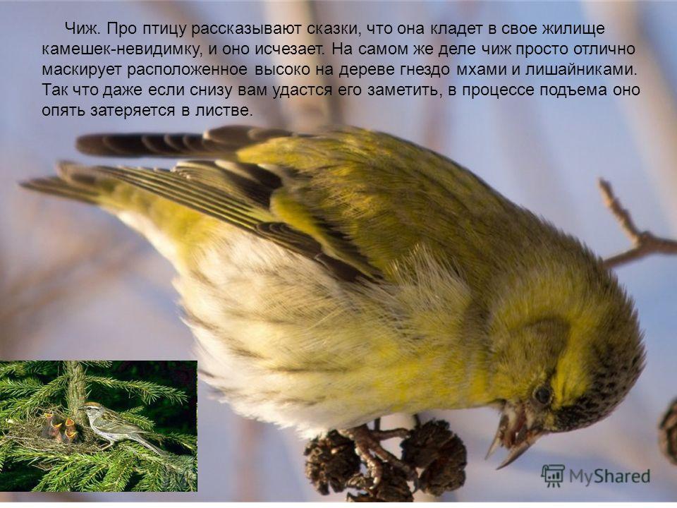 Чиж. Про птицу рассказывают сказки, что она кладет в свое жилище камешек-невидимку, и оно исчезает. На самом же деле чиж просто отлично маскирует расположенное высоко на дереве гнездо мхами и лишайниками. Так что даже если снизу вам удастся его замет