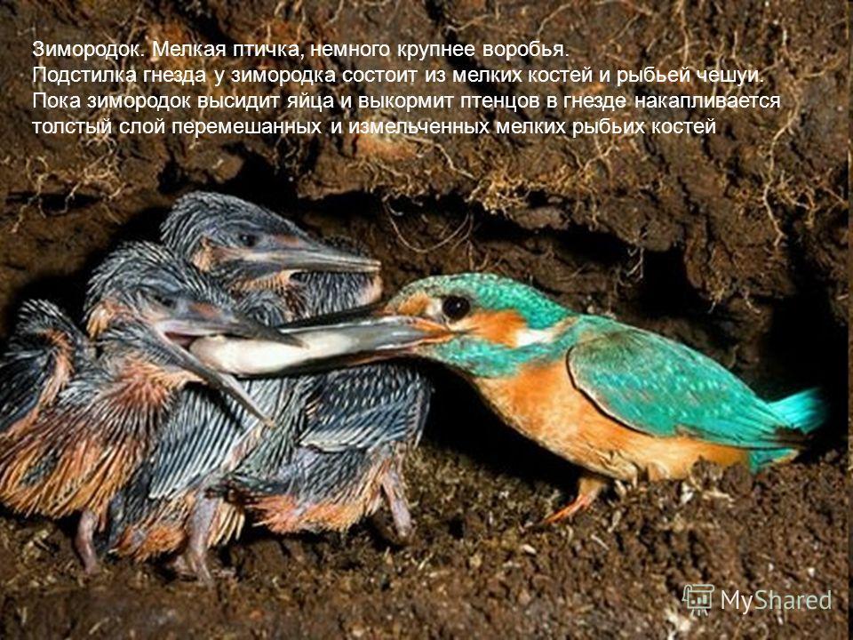 Зимородок. Мелкая птичка, немного крупнее воробья. Подстилка гнезда у зимородка состоит из мелких костей и рыбьей чешуи. Пока зимородок высидит яйца и выкормит птенцов в гнезде накапливается толстый слой перемешанных и измельченных мелких рыбьих кост