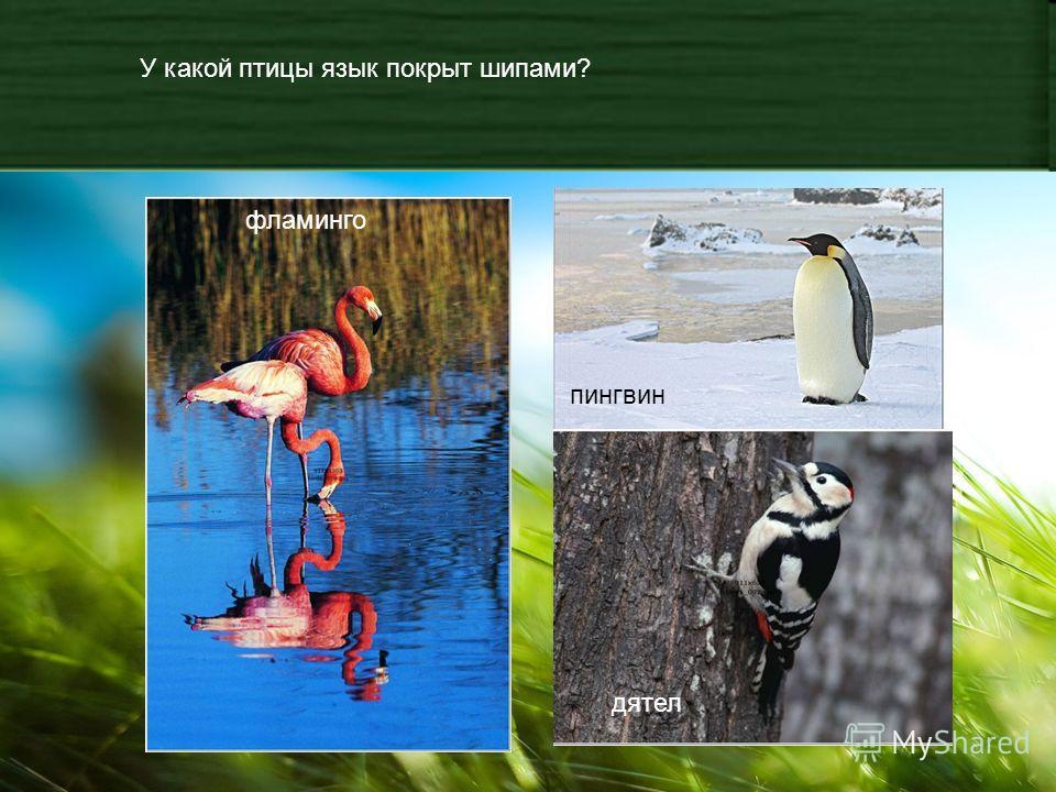 У какой птицы язык покрыт шипами? фламинго пингвин дятел