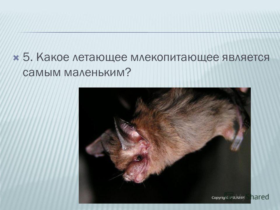 5. Какое летающее млекопитающее является самым маленьким?