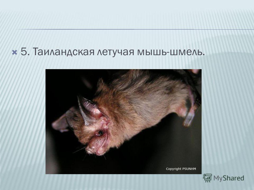 5. Таиландская летучая мышь-шмель.