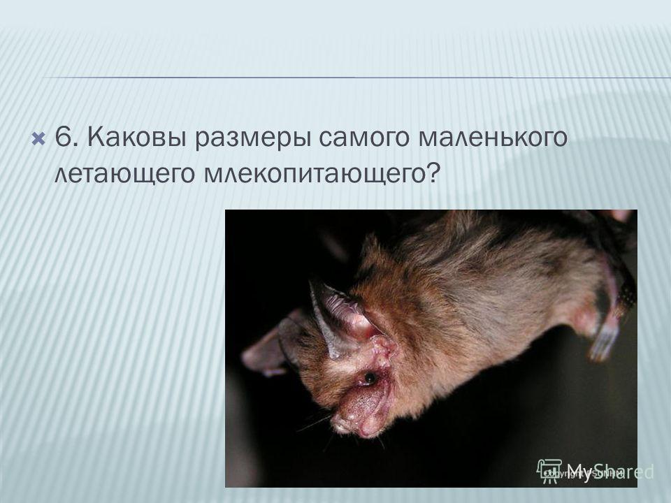 6. Каковы размеры самого маленького летающего млекопитающего?