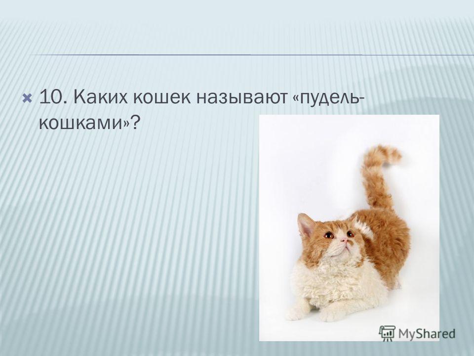 10. Каких кошек называют «пудель- кошками»?