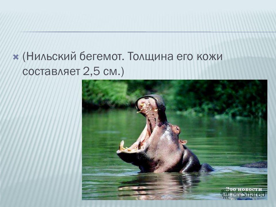 (Нильский бегемот. Толщина его кожи составляет 2,5 см.)