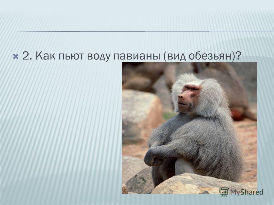 2. Как пьют воду павианы (вид обезьян)?