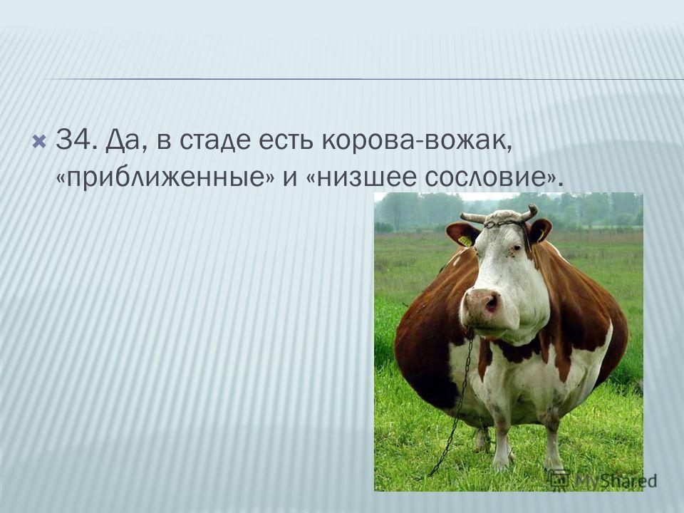 34. Да, в стаде есть корова-вожак, «приближенные» и «низшее сословие».