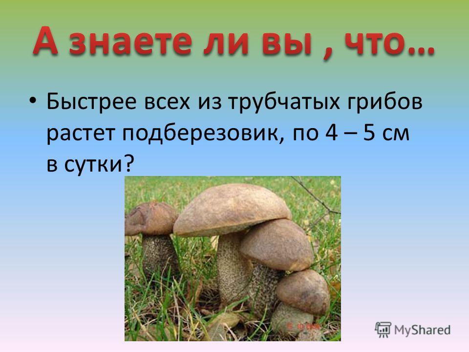 Быстрее всех из трубчатых грибов растет подберезовик, по 4 – 5 см в сутки?
