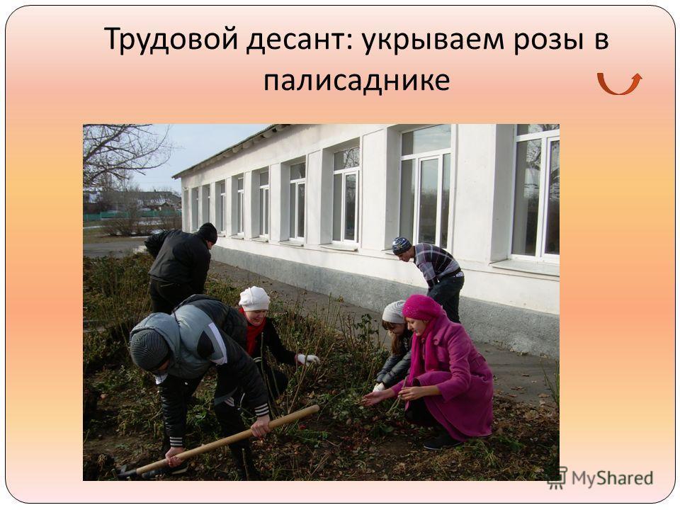 Трудовой десант : укрываем розы в палисаднике