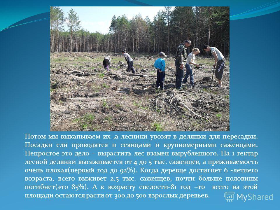 Потом мы выкапываем их,а лесники увозят в делянки для пересадки. Посадки ели проводятся и сеянцами и крупномерными саженцами. Непростое это дело – вырастить лес взамен вырубленного. На 1 гектар лесной делянки высаживается от 4 до 5 тыс. саженцев, а п