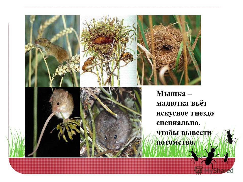 Мышка – малютка вьёт искусное гнездо специально, чтобы вывести потомство.