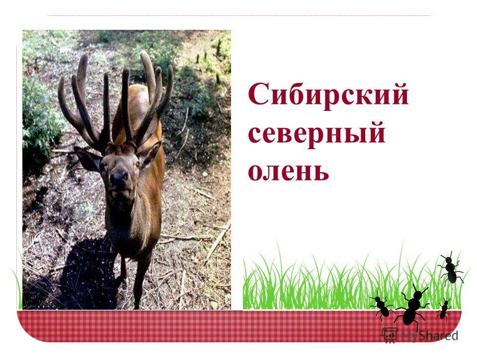 Сибирский северный олень
