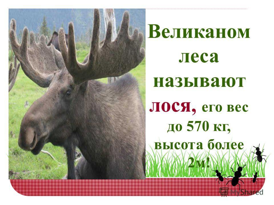 Великаном леса называют лося, его вес до 570 кг, высота более 2м!