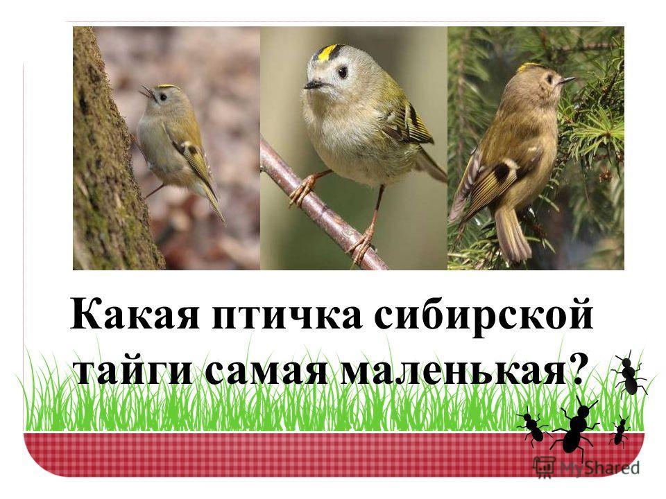 Какая птичка сибирской тайги самая маленькая?