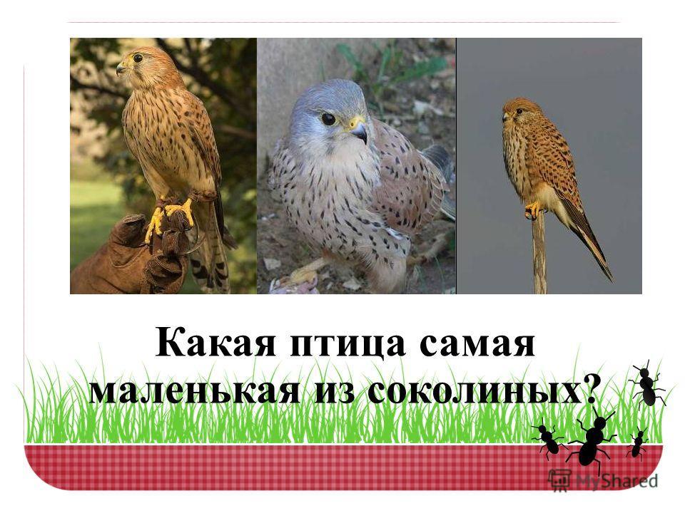 Какая птица самая маленькая из соколиных?