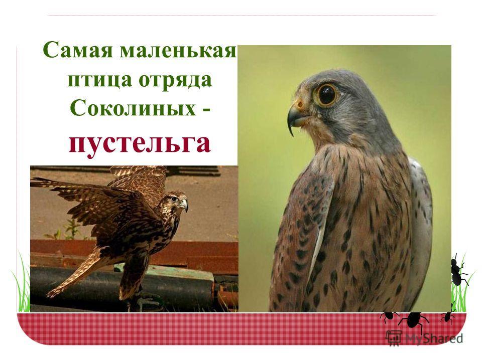 Самая маленькая птица отряда Соколиных - пустельга
