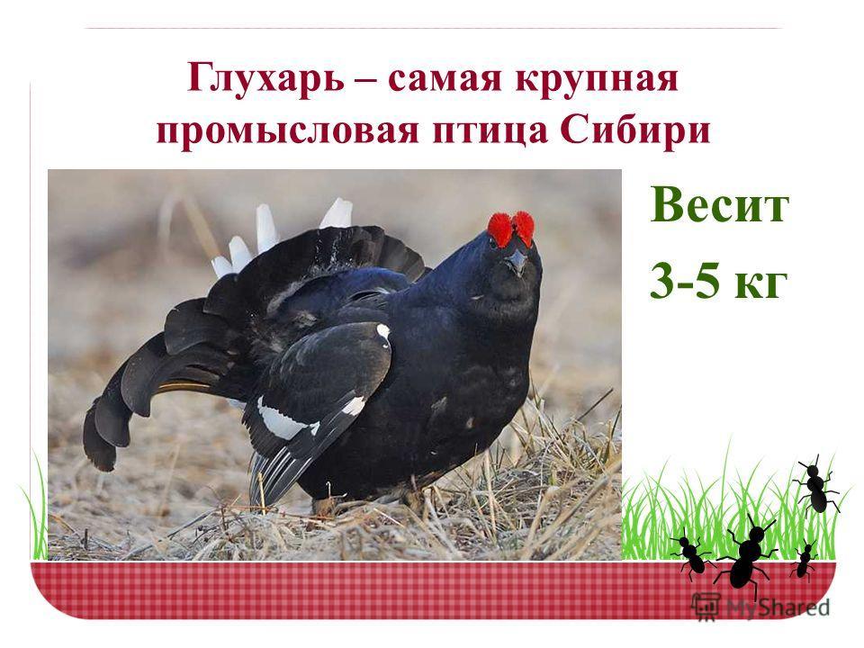 Глухарь – самая крупная промысловая птица Сибири Весит 3-5 кг