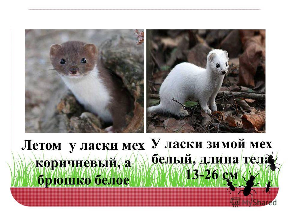 Летом у ласки мех коричневый, а брюшко белое У ласки зимой мех белый, длина тела 13-26 см