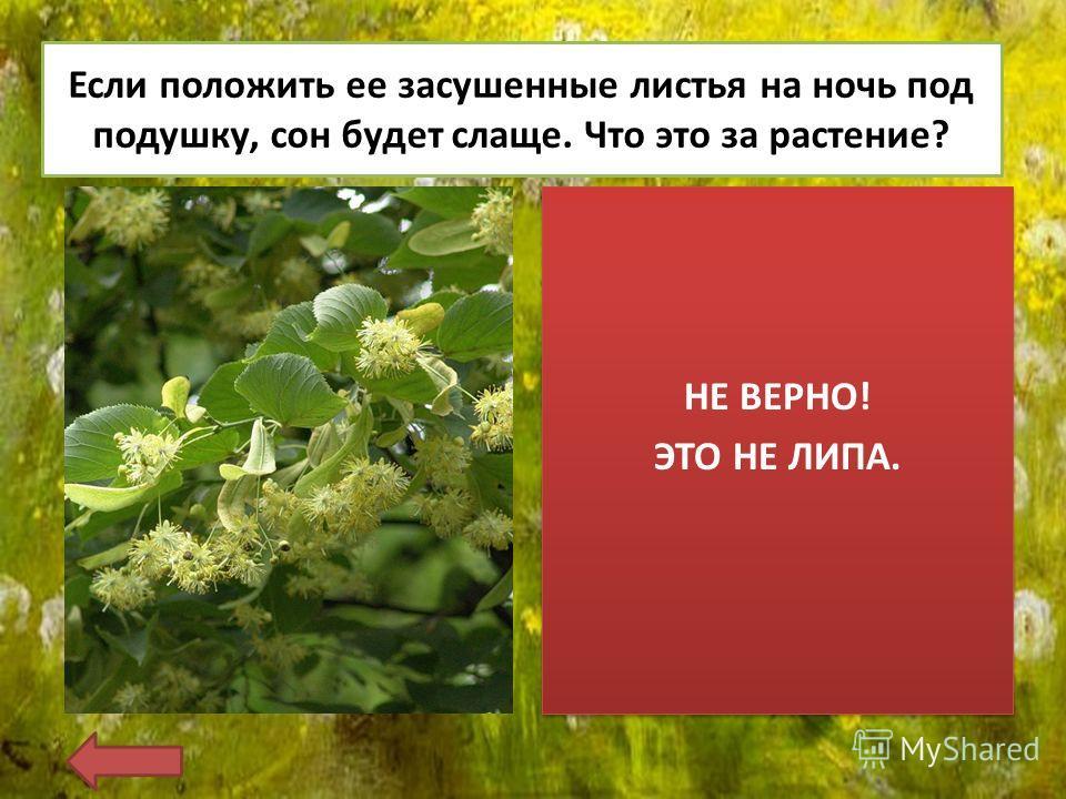 Если положить ее засушенные листья на ночь под подушку, сон будет слаще. Что это за растение? НЕ ВЕРНО! ЭТО НЕ ЛИПА. НЕ ВЕРНО! ЭТО НЕ ЛИПА.