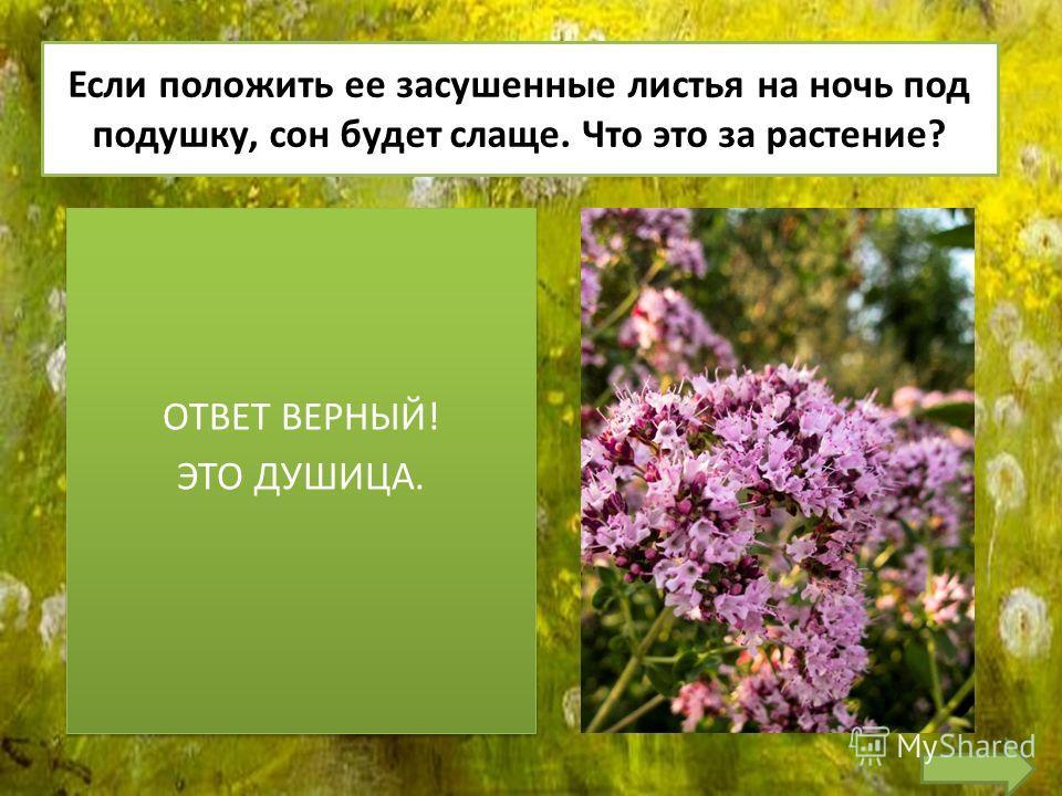 Если положить ее засушенные листья на ночь под подушку, сон будет слаще. Что это за растение? ОТВЕТ ВЕРНЫЙ! ЭТО ДУШИЦА. ОТВЕТ ВЕРНЫЙ! ЭТО ДУШИЦА.