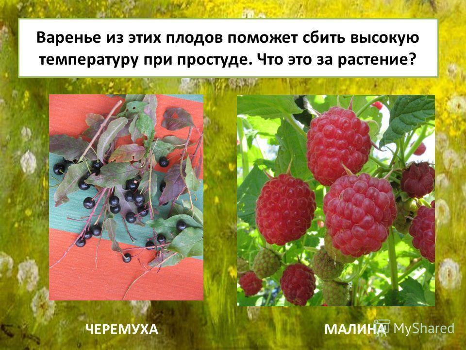 Варенье из этих плодов поможет сбить высокую температуру при простуде. Что это за растение? ЧЕРЕМУХАМАЛИНА