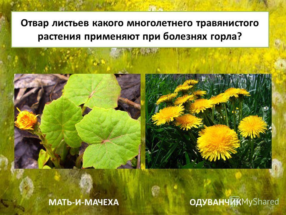 Отвар листьев какого многолетнего травянистого растения применяют при болезнях горла? МАТЬ-И-МАЧЕХАОДУВАНЧИК