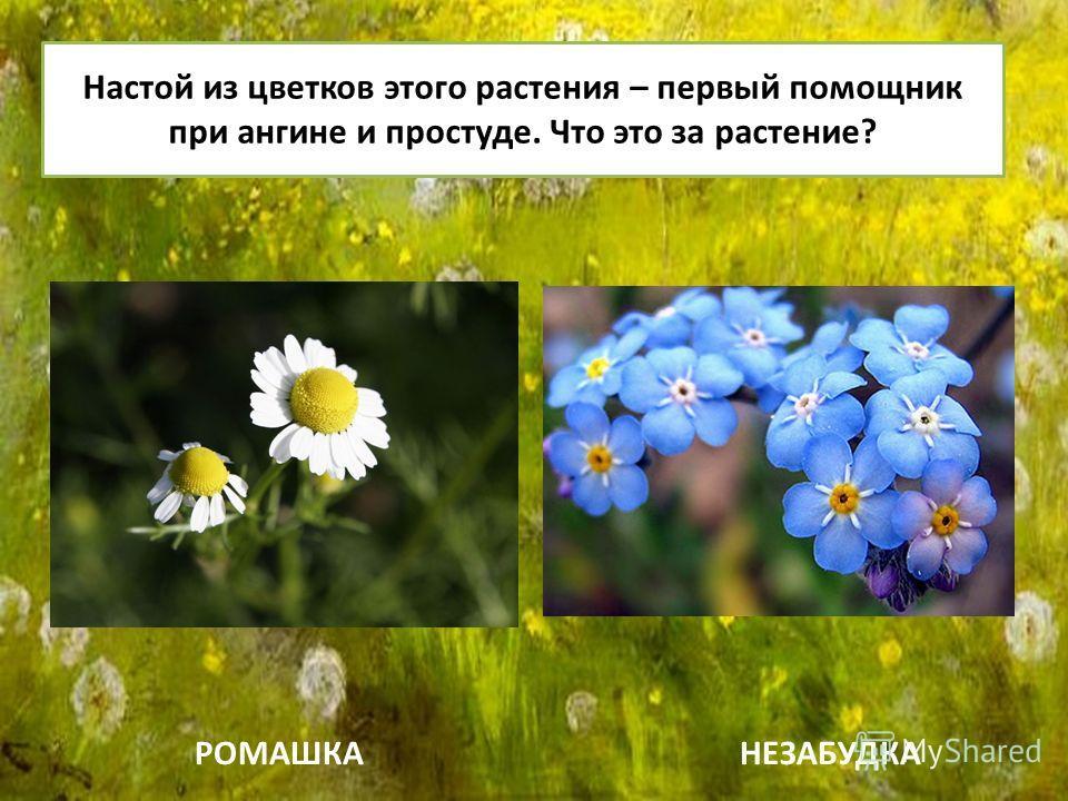 Настой из цветков этого растения – первый помощник при ангине и простуде. Что это за растение? РОМАШКАНЕЗАБУДКА