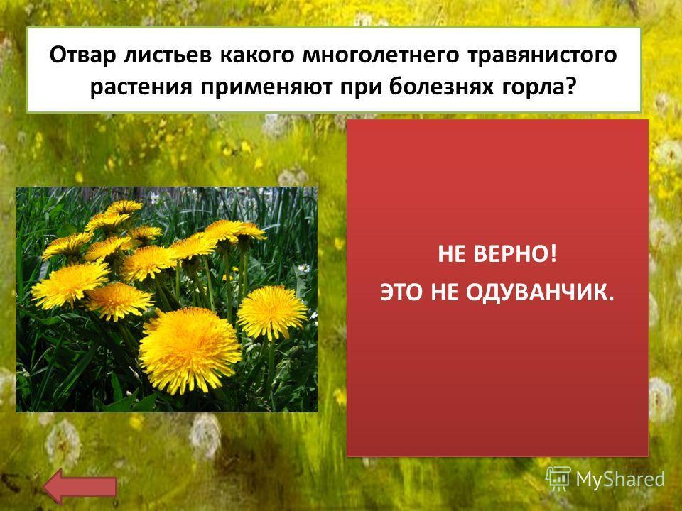 Отвар листьев какого многолетнего травянистого растения применяют при болезнях горла? НЕ ВЕРНО! ЭТО НЕ ОДУВАНЧИК. НЕ ВЕРНО! ЭТО НЕ ОДУВАНЧИК.