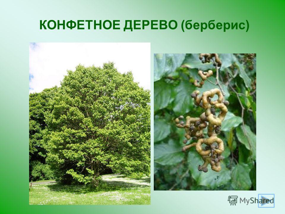 КОНФЕТНОЕ ДЕРЕВО (берберис)