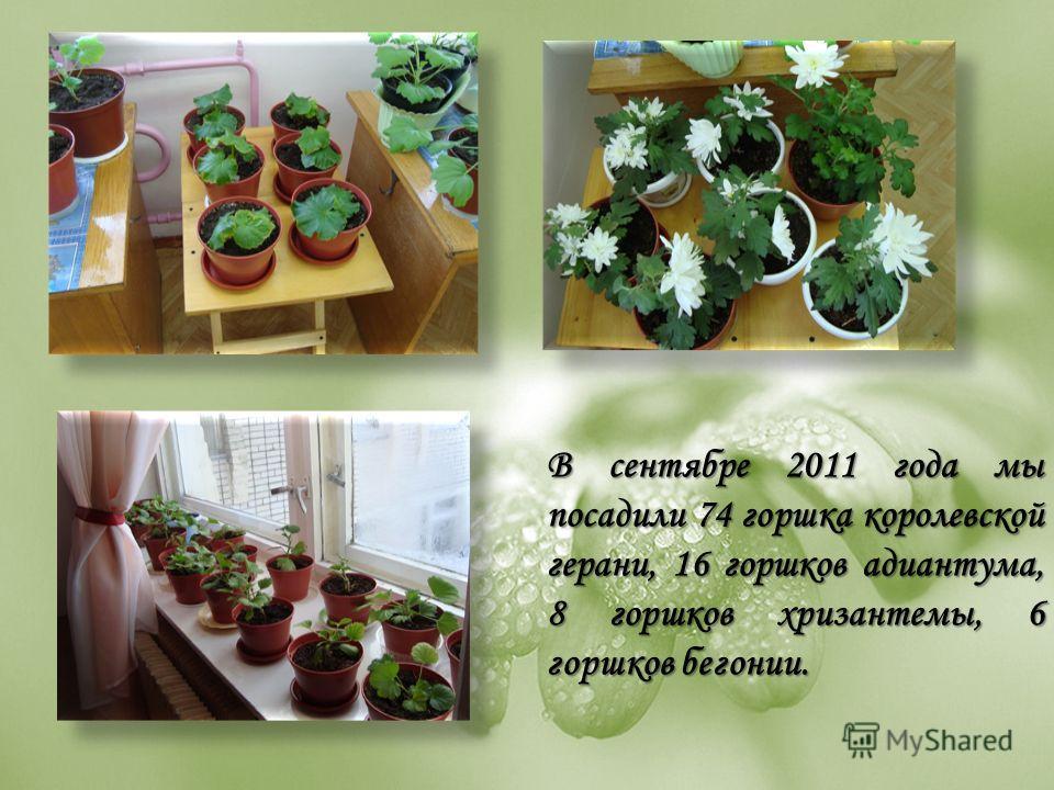 В сентябре 2011 года мы посадили 74 горшка королевской герани, 16 горшков адиантума, 8 горшков хризантемы, 6 горшков бегонии.