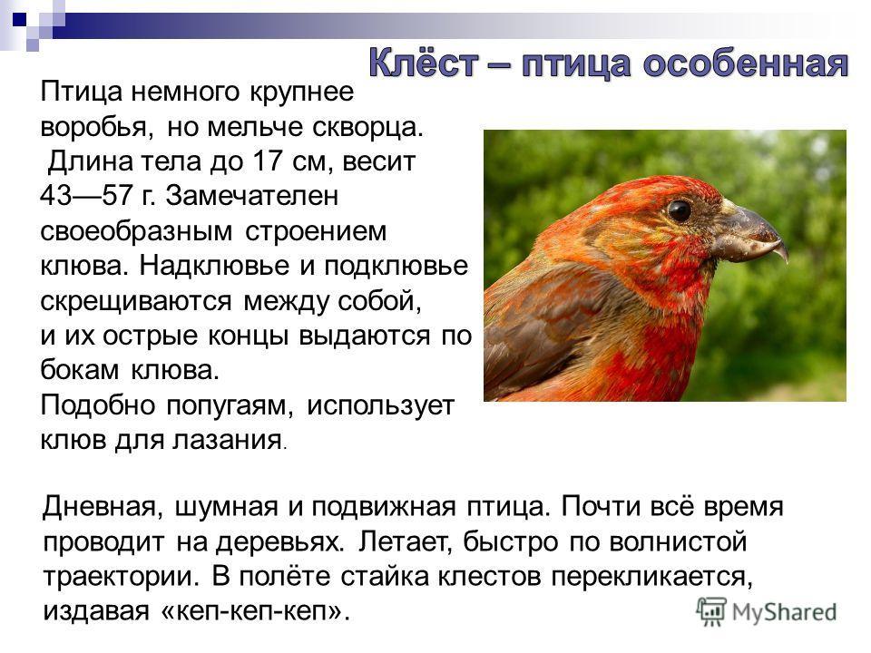 Птица немного крупнее воробья, но мельче скворца. Длина тела до 17 см, весит 4357 г. Замечателен своеобразным строением клюва. Надклювье и подклювье скрещиваются между собой, и их острые концы выдаются по бокам клюва. Подобно попугаям, использует клю