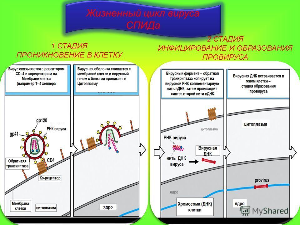 Жизненный цикл вируса СПИДа 1 СТАДИЯ ПРОНИКНОВЕНИЕ В КЛЕТКУ 2 СТАДИЯ ИНФИЦИРОВАНИЕ И ОБРАЗОВАНИЯ ПРОВИРУСА
