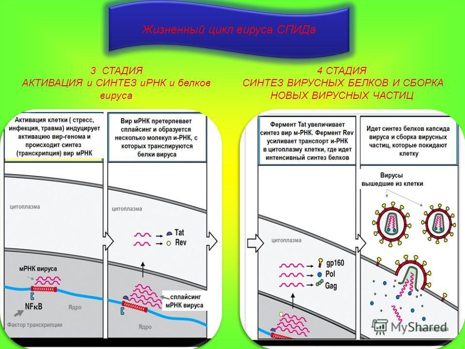 Жизненный цикл вируса СПИДа 3 СТАДИЯ АКТИВАЦИЯ и СИНТЕЗ иРНК и белков вируса 4 СТАДИЯ СИНТЕЗ ВИРУСНЫХ БЕЛКОВ И СБОРКА НОВЫХ ВИРУСНЫХ ЧАСТИЦ