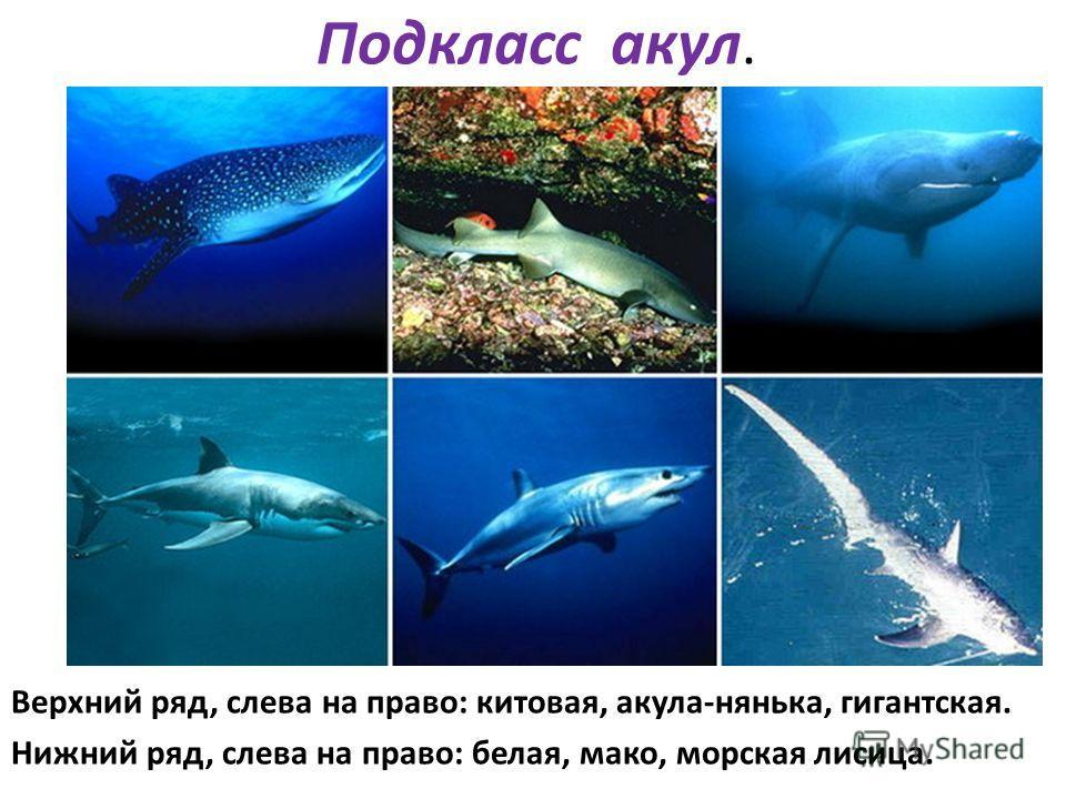 Подкласс акул. Верхний ряд, слева на право: китовая, акула-нянька, гигантская. Нижний ряд, слева на право: белая, мако, морская лисица.