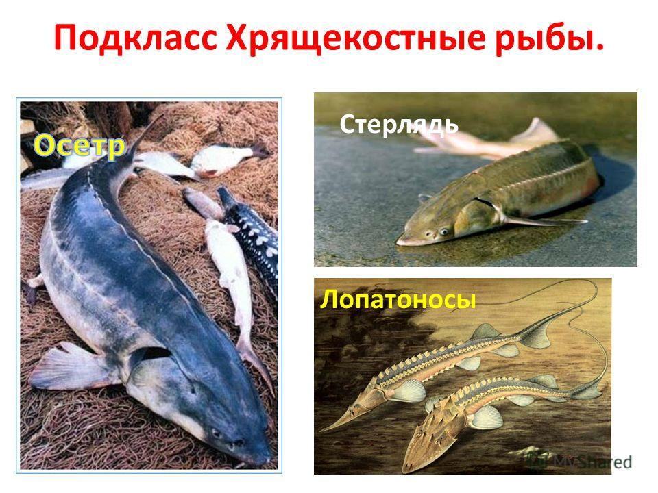 Подкласс Хрящекостные рыбы. Лопатоносы Стерлядь