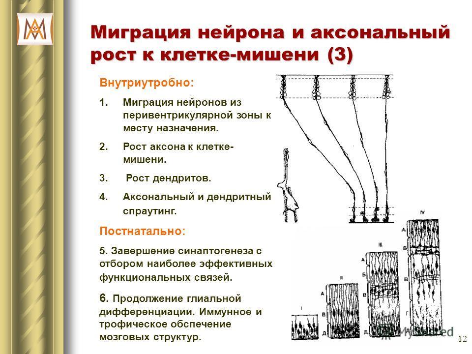 12 Миграция нейрона и аксональный рост к клетке-мишени (3) Внутриутробно: 1.Миграция нейронов из перивентрикулярной зоны к месту назначения. 2.Рост аксона к клетке- мишени. 3. Рост дендритов. 4.Аксональный и дендритный спраутинг. Постнатально: 5. Зав
