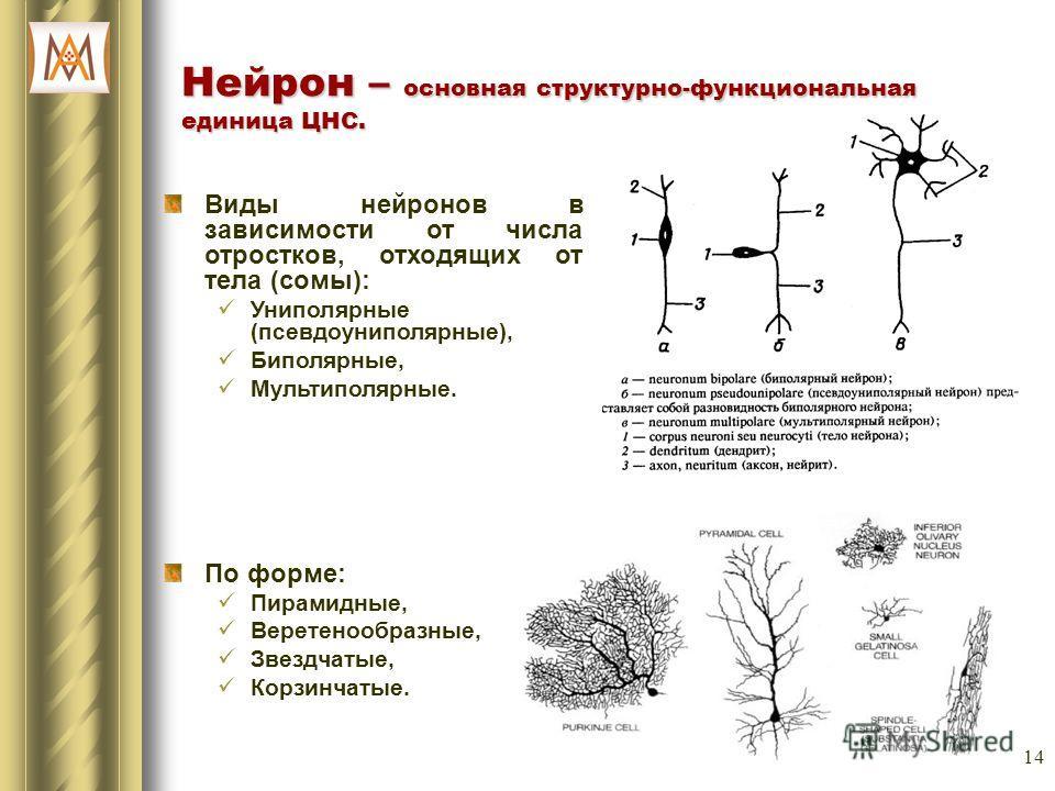14 Нейрон – основная структурно-функциональная единица ЦНС. Виды нейронов в зависимости от числа отростков, отходящих от тела (сомы): Униполярные (псевдоуниполярные), Биполярные, Мультиполярные. По форме: Пирамидные, Веретенообразные, Звездчатые, Кор