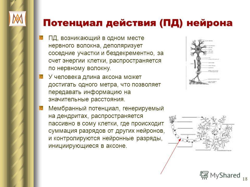 18 Потенциал действия (ПД) нейрона ПД, возникающий в одном месте нервного волокна, деполяризует соседние участки и бездекрементно, за счет энергии клетки, распространяется по нервному волокну. У человека длина аксона может достигать одного метра, что