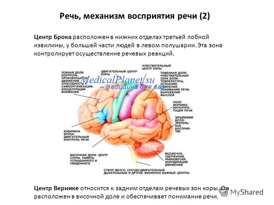 Речь, механизм восприятия речи (2) Центр Брока расположен в нижних отделах третьей лобной извилины, у большей части людей в левом полушарии. Эта зона контролирует осуществление речевых реакций. Центр Вернике относится к задним отделам речевых зон кор