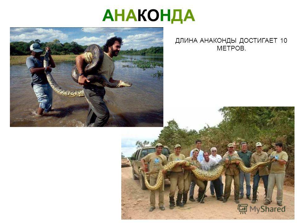 АНАКОНДА АНАКОНДА - САМАЯ КРУПНАЯ ИЗ ЗМЕЙ. Анаконда анаконда - самая крупная из змей.