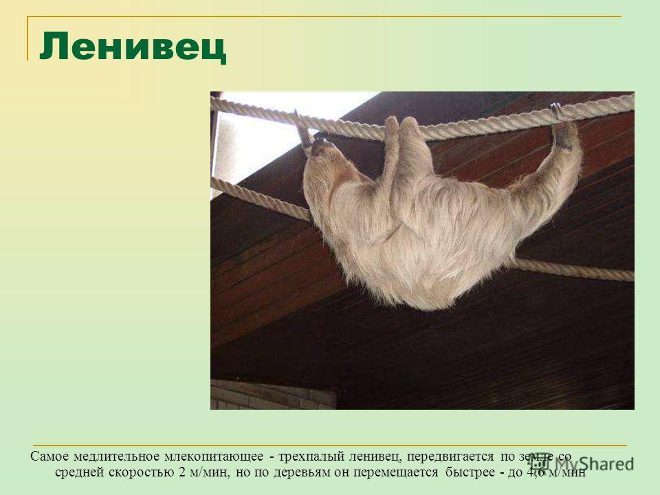 Страус Самой быстрой нелетающей птицей признан африканский страус, который может развивать скорость до 72 км/ч. Высота самцов африканского страуса до 3х метров, масса – 160 кг