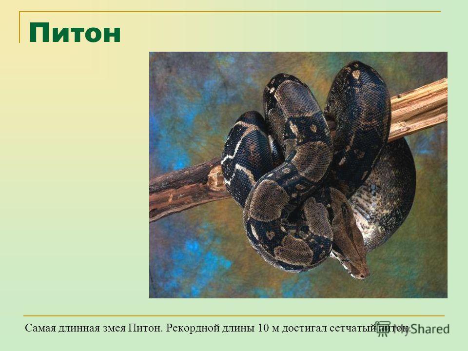 Анаконда Самая крупная змея - Анаконда. Средняя длина составляет 5-7 м, вес 250 кг