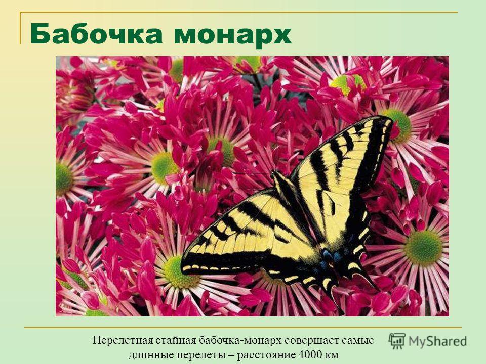 Птицекрыл королевы александры Самая крупная дневная бабочка - самка птицекрыла королевы Александры, обитающая на юго-востоке Папуа. Размах ее широких крыльев достигает 26 сантиметров.